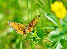Le papillon boit du nectar d'une fleur Image libre de droits