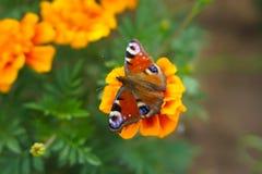 Le papillon boit du nectar de la fleur de souci image stock