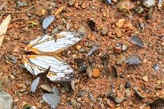 Le papillon commun de carte Image libre de droits