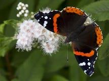 Le papillon d'amiral (atalanta de Vanessa) Photos libres de droits