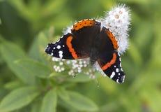 Le papillon d'amiral (atalanta de Vanessa) Images stock