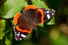 Le papillon d'amiral (atalanta de Vanessa) Photographie stock libre de droits