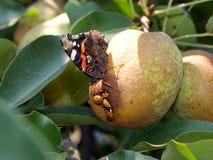 Le papillon d'amiral et le x28 ; Vanessa Atalanta et x29 ; Image libre de droits