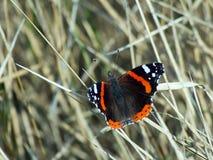 Le papillon d'amiral et le x28 ; Vanessa Atalanta et x29 ; Photo stock