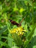 Le papillon d'amiral rouge Photo stock