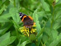 Le papillon d'amiral rouge Photographie stock