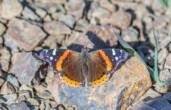 Le papillon d'amiral rouge (atalanta de Vanessa) était perché sur une roche Images stock