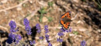 Le papillon d'amiral rouge débarque sur la tête de fleur à la ferme de lavande dans le Cotswolds R-U Photographie stock