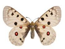 Le papillon d'Apollo Photo libre de droits