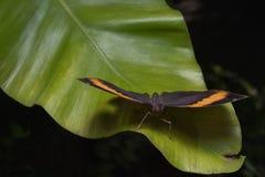 Le papillon d'inachus de kallima soutient une ressemblance remarquable image stock