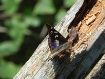 Le papillon a d?voil? ses ailes Bel insecte un jour d'?t? D?tails et plan rapproch? photo libre de droits