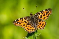 Le papillon de carte (levana d'araschnia) Photos libres de droits