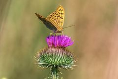 Le papillon de faune se repose sur le Cirsium kirghiz Images stock