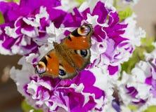 Le papillon de l'oeil de paon sur la fleur d'un pétunia pourpre Images stock