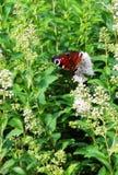 Le papillon de l'oeil de paon sur l'herbe verte Arbre dans le domaine Images stock