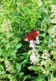 Le papillon de l'oeil de paon sur l'herbe verte Arbre dans le domaine Photos libres de droits