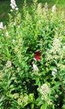 Le papillon de l'oeil de paon sur l'herbe verte Arbre dans le domaine Image libre de droits