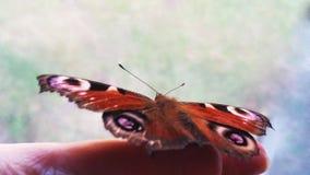 Le papillon de l'oeil de paon sur la main Butterf très beau Images stock