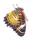 Le papillon de lacewing de léopard, cyane de Cethosia, d'isolement sur le fond blanc photos libres de droits