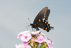 Le papillon de machaon de Pipevine alimentant sur le phlox rose fleurit Photos libres de droits