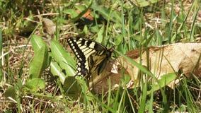 Le papillon de machaon se repose sur la vieille feuille banque de vidéos