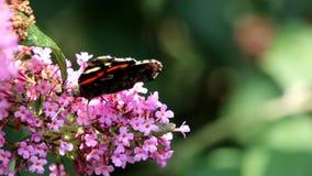 Le papillon de marche d'amiral rouge chez Buddleja rose fleurissent banque de vidéos