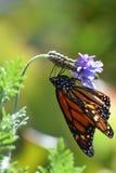 Le papillon de monarque Images libres de droits