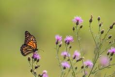Le papillon de monarque alimente sur de petites fleurs pourpres de centaurée dans le pré Image stock