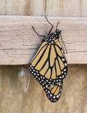 Le papillon de monarque a nouvellement émergé Image stock