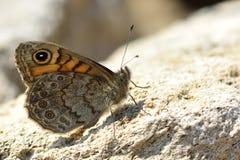 Le papillon de mur (megera de Lasiommata) Images libres de droits