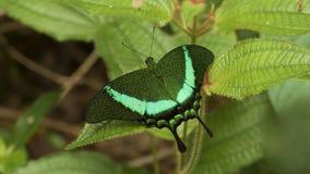 Le papillon de paon réuni Images libres de droits