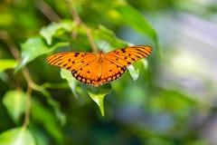 Le papillon de passion avec des ailes s'ouvrent image libre de droits