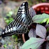 Le papillon de tondeuse Photo stock