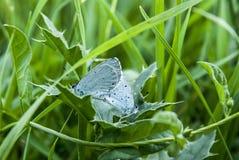 Le papillon deux font l'amour sur l'herbe Photographie stock