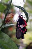 Le papillon et les chrysalides noirs et rouges image libre de droits