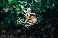 Le papillon grouillent la fleur blanche image libre de droits