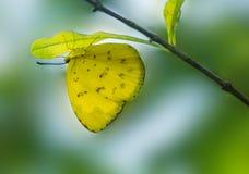 Le papillon jaune d'herbe est perché à l'envers image stock