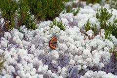 Le papillon linchen dessus Photo libre de droits