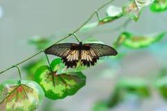 Le papillon noir et blanc se repose sur un pétale photo stock