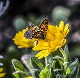 Le papillon orange a attrapé par une petite araignée jaune Photo libre de droits