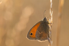 Le papillon orange sur une lame d'herbe au lever de soleil Photos stock