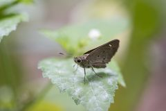 Le papillon, peu a stigmatisé rapide - Pelopidas Mathias photos libres de droits