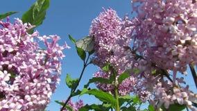 Le papillon pilote l'été lilas clips vidéos