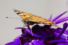 Le papillon a repéré l'oeil et le Palpi, plan rapproché, tout en alimentant Photographie stock libre de droits