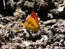 Le papillon repose et montre son meilleur côté image stock