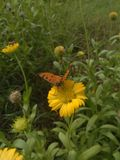 Le papillon sélectionnent le pollen la fleur image stock