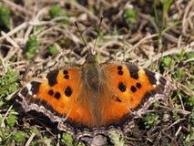 Le papillon s'est repos? sur l'herbe au printemps photo libre de droits