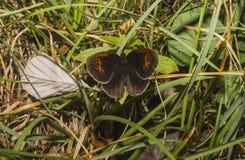 Le papillon s'expose sur l'herbe Photographie stock libre de droits