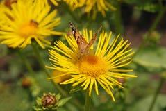 Le papillon se repose sur un nectar de boissons de fleur des fleurs jaunes Photos stock