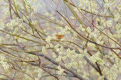 Le papillon se repose sur un saule d'arbre Images stock